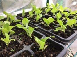 Quand planter les plants de salade