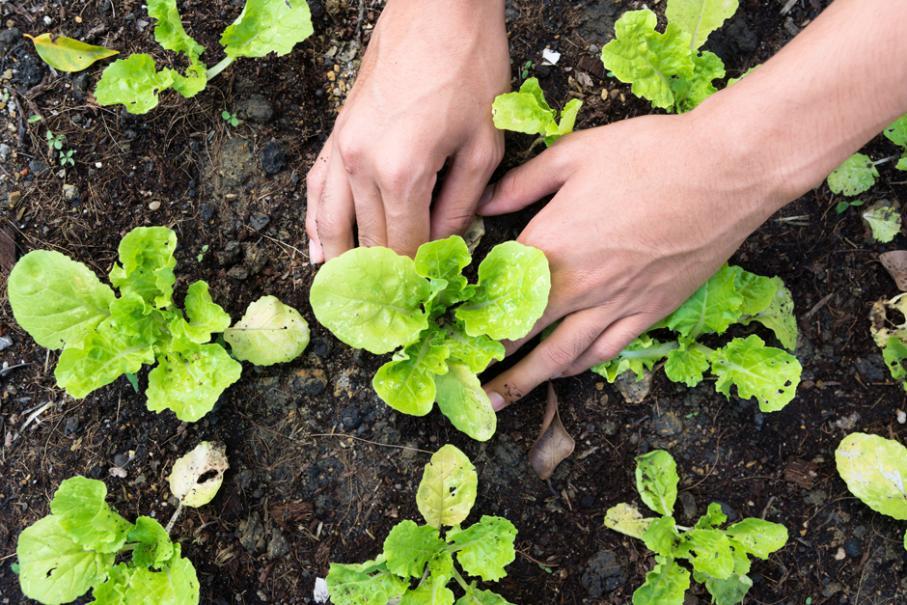 cultiver salade
